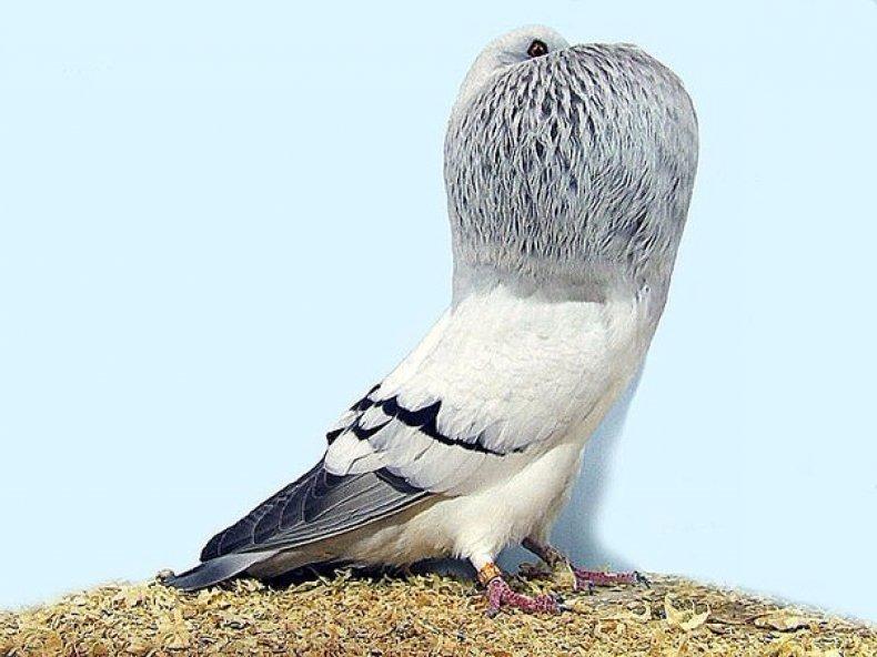 Самые дорогие голуби в мире: цены на разные породы (почтовые, гривистые, гоночные)   golubevod.net