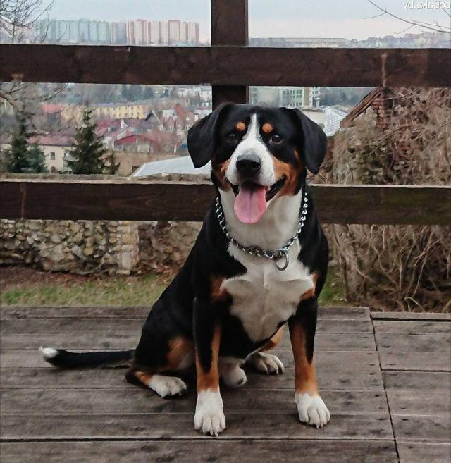 Бернский зенненхунд: обзор породы собак, фото, особенности содержания и ухода, окрас, размеры, повадки