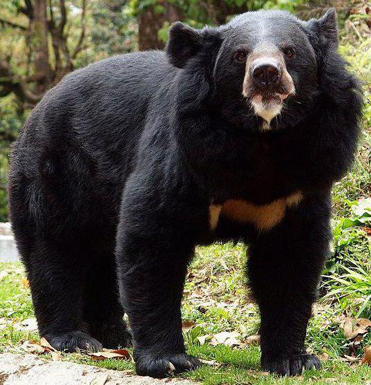 Виды медведей. описание, названия и особенности медведей   живность.ру