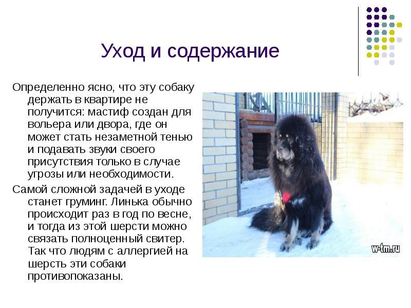 Тибетский мастиф ???? фото, описание, характер, факты, плюсы, минусы собаки ✔