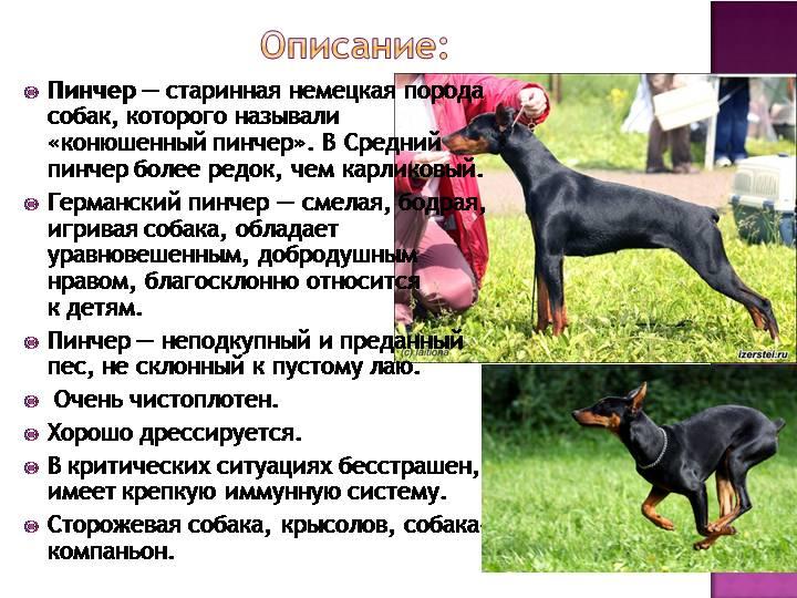 Карликовый пинчер ???? фото, описание, характер, факты, плюсы, минусы собаки ✔