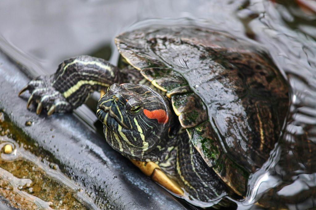 Спячка у красноухих черепах (15 фото): впадают ли они в спячку в домашних условиях и как это понять? как можно разбудить черепаху после зимней спячки?