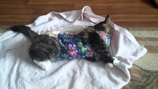 Кошка после наркоза: после стерилизации, кастрации и иных операций; сколько времени коты отходят от наркоза, как ухаживать за животным