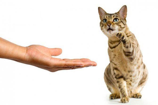 Как дрессировать кота: команды, советы для начинающих