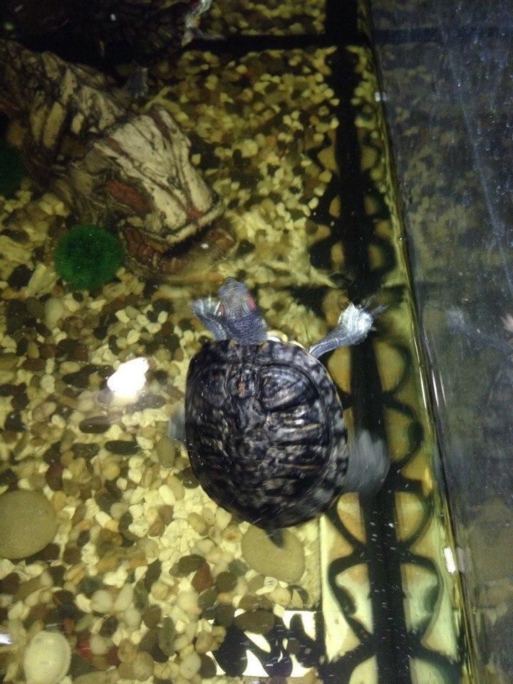 Как и когда сухопутные среднеазиатские черепахи впадают в спячку в домашних условиях