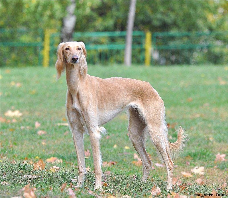 Борзые породы собак тайгана