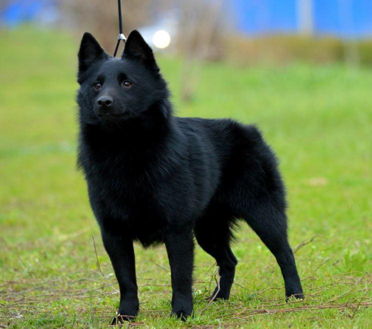 Шипперке: описание породы, особенности ухода и воспитания собак