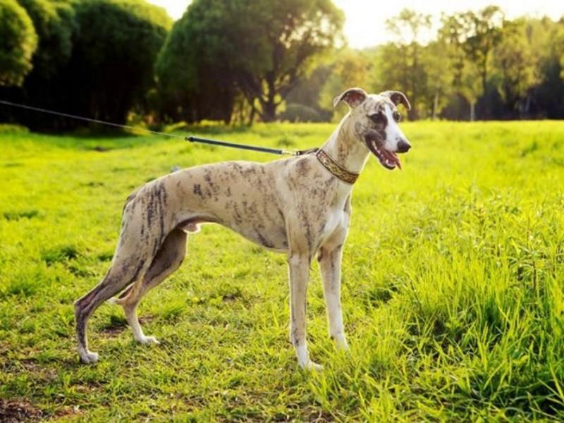 Порода собак шипперке фото, описание содержание и уход, кормление, щенки цена отзывы