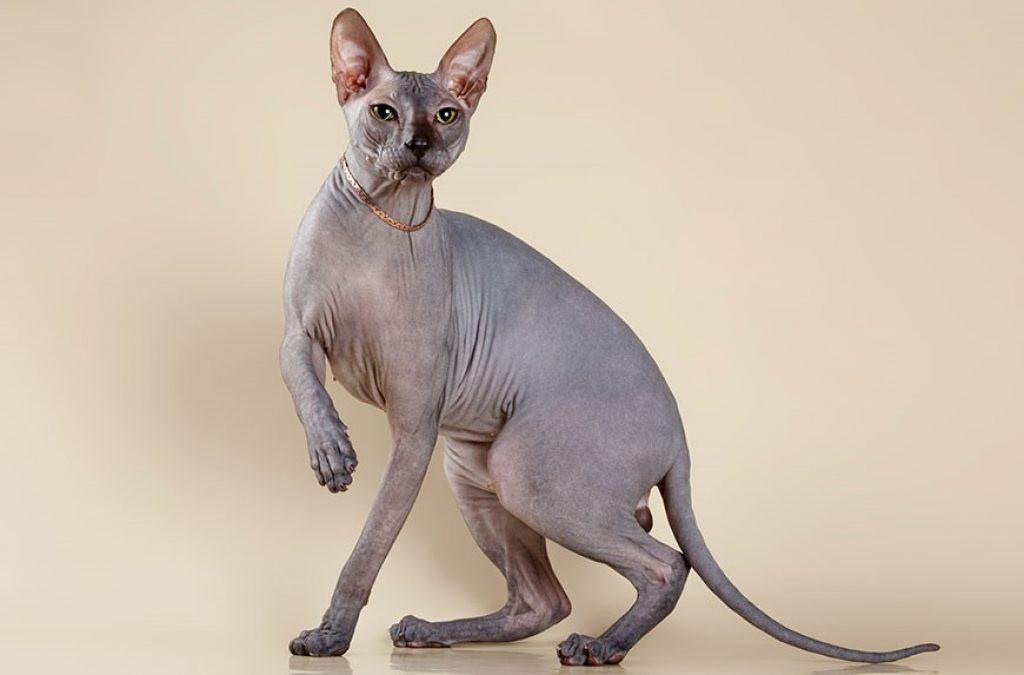Канадский сфинкс: фото и описание представителей породы, характер кошки, особенности содержания