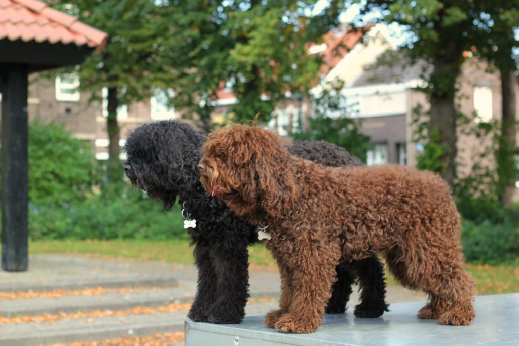 Порода собак бишон фризе: описание с фото, видео, выбор щенка, отзывы, цена