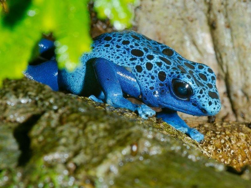Самые ядовитые лягушки из южной америки: виды древолазов, особенности филломедузы двухцветной