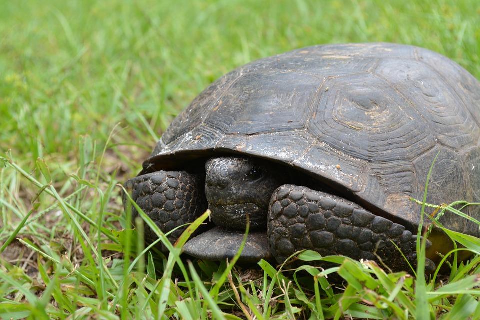 Красноухая черепаха: обзор видов рептилий, фото, внешний вид, повадки, размеры, отличия