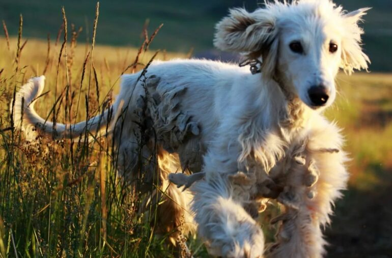 Афганская борзая: фото, описание породы, характер собаки и цены
