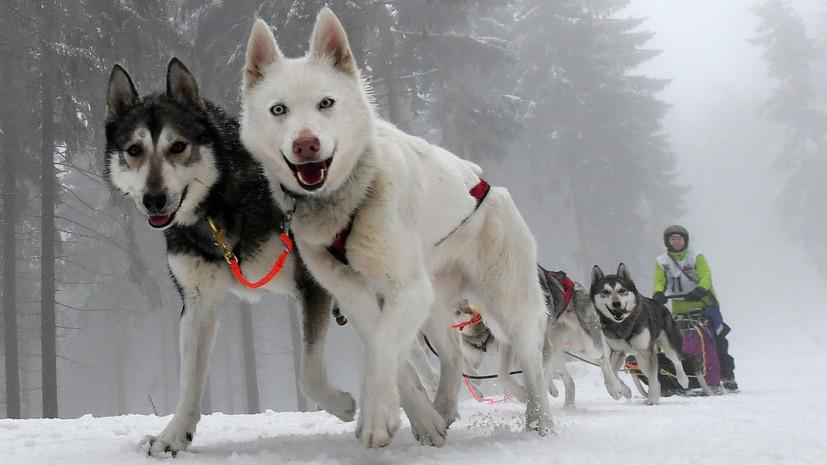 Ездовые породы собак: список представителей с фото