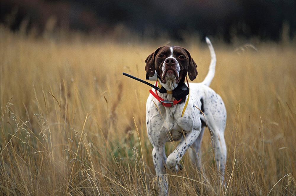 Английскийпойнтер — классическая охотничья собака с выдержанным характером