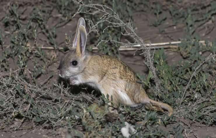 Большой тушканчик   описания и фото животных   некоммерческий учебно-познавательный интернет-портал зоогалактика