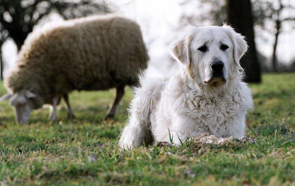Кувас: описание породы собак, темперамент, уход. венгерский кувас – пастух с непростым характером