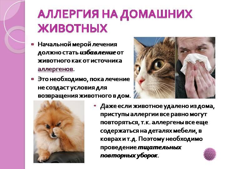 Аллергия на кошек: как проявляется, симптомы у взрослых
