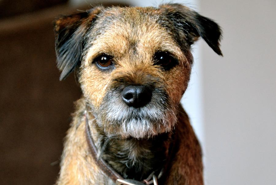Гладкошерстные породы собак, их особенности, виды и фото