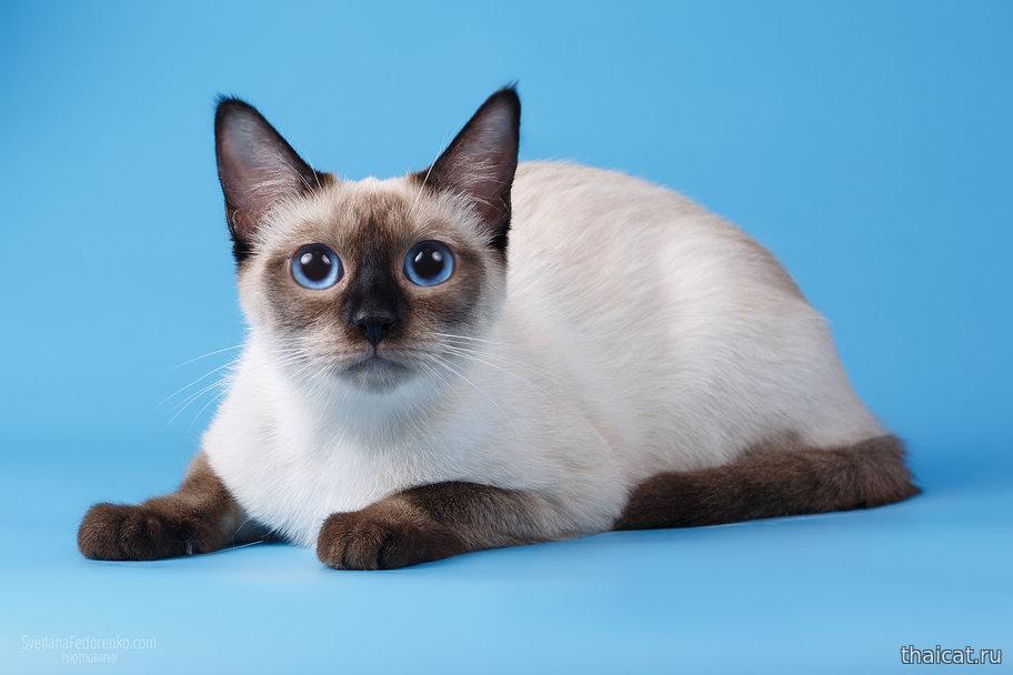 Кошки тайской породы, особенности характера и разновидности окрасов, фото кошек