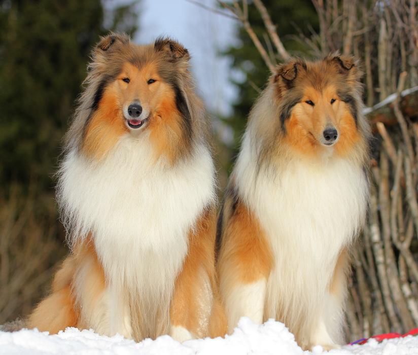 Какую разновидность овчарки называют колли – шотландская пастушья собака