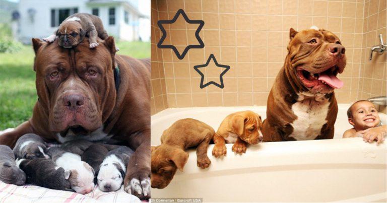 Американский питбультерьер ???? фото, описание, характер, факты, плюсы, минусы собаки ✔