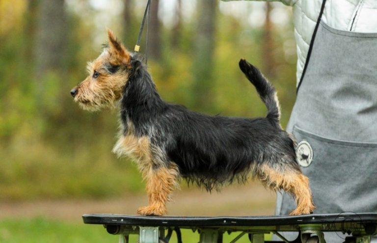 Характеристика собак породы австралийский терьер с отзывами и фото