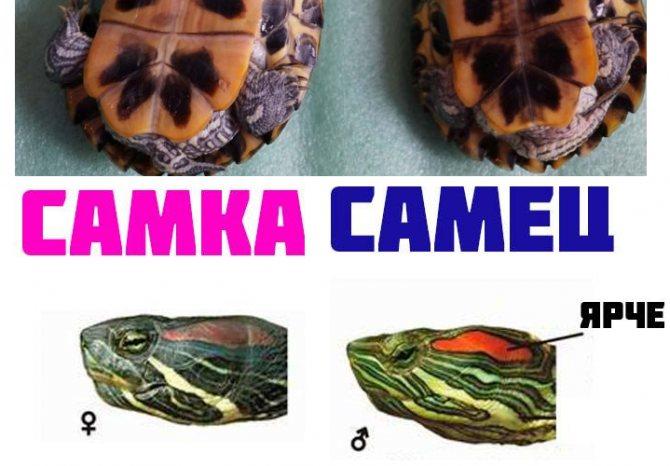 Как определить пол черепахи - советы от ветеринарной клиники питомец