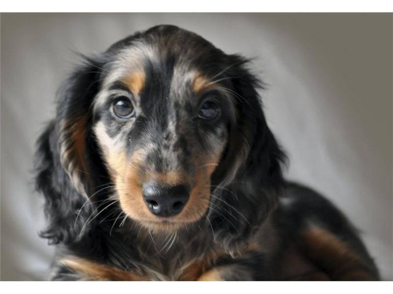 Длинношерстная такса (46 фото): описание щенков лохматых карликовых такс, характер пушистых миниатюрных собак. собаки мраморного, черного и другого окраса