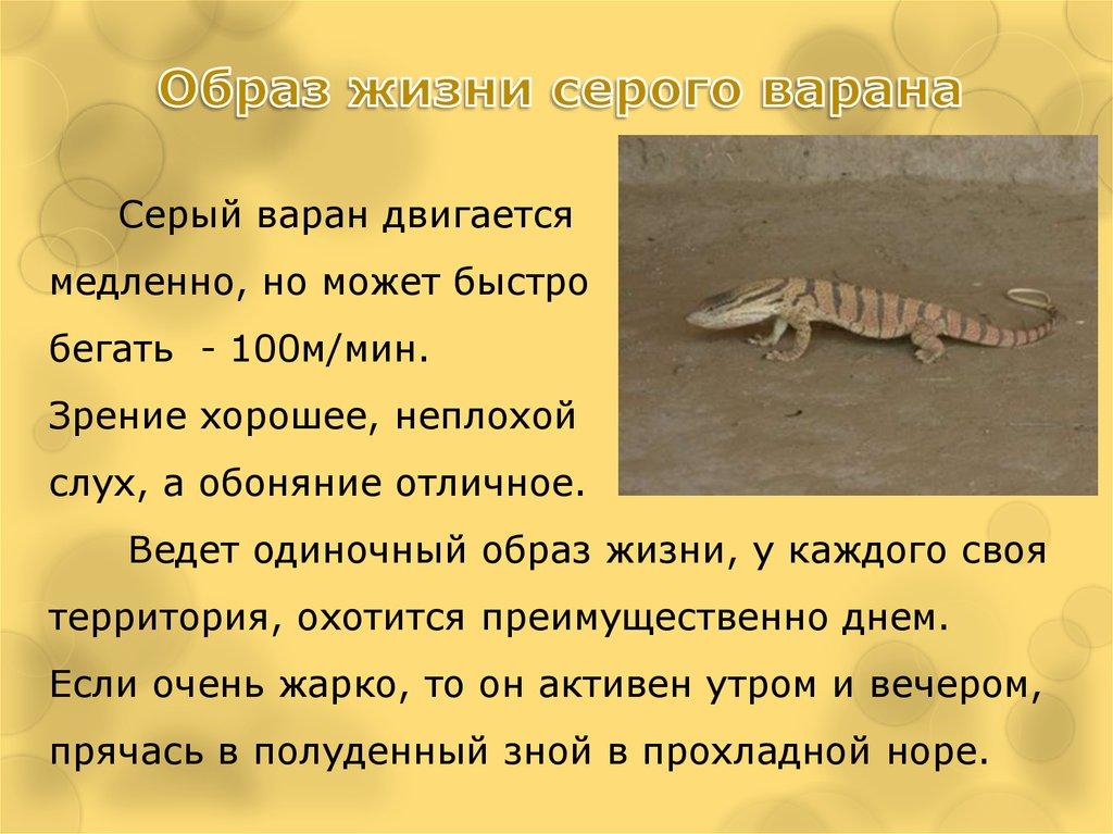 Комодский варан