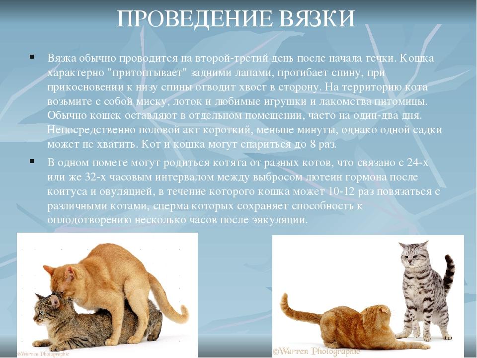 Что значит кот развязан, в каком возрасте можно кошку сводить с самцом первый раз, что такое вязка?