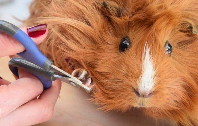Как подстричь когти морской свинке в домашних условиях: пошаговая инструкция
