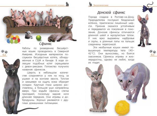 Порода кошек донской сфинкс — описание кошки, цена, характер и особенности здоровья породы (110 фото)