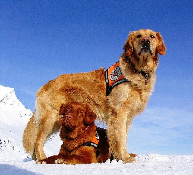 Какие собаки служат в поисково-спасательной службе мчс? какие породы собак подходят?