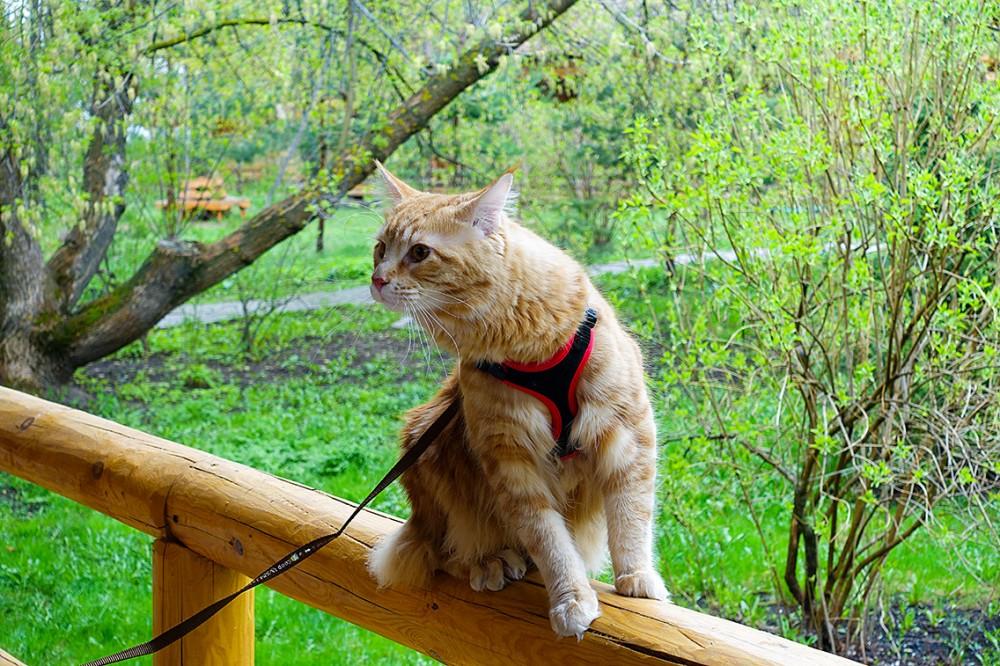 Памятка по уходу за котенком мейн кун питомник my cats cradle.кошки,коты,котята.