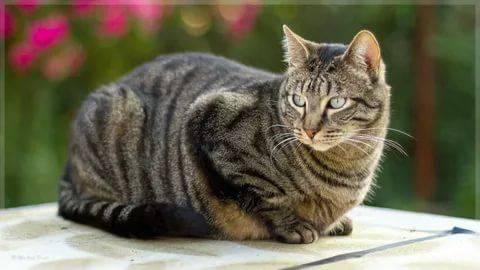 Порода кошки азиатская табби: характеристики, фото, характер, правила ухода и содержания - petstory