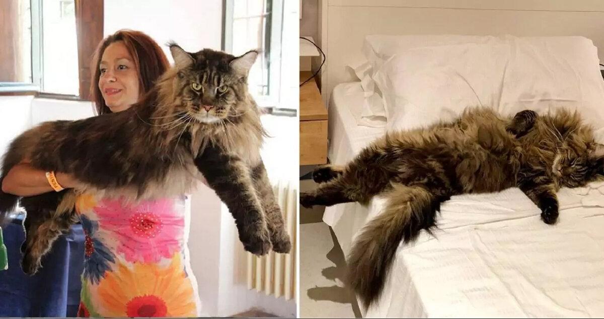 Почему не стоит покупать котенка породы мейн-кун