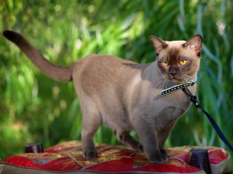 Бурманскаякошка ???? фото, описание, характер, факты, плюсы, минусы кошки ✔