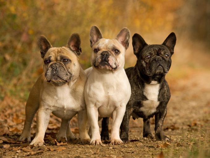 Собака для всех: французский бульдог