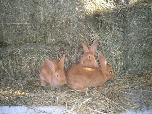 Бургундский кролик — содержание, описание, уход, продуктивность