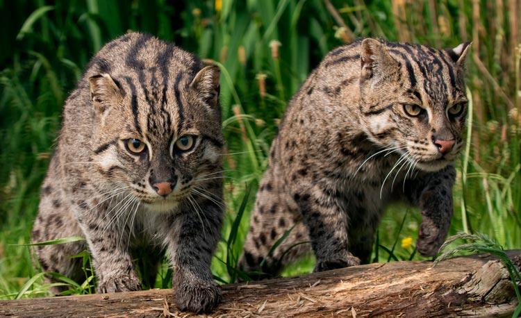 Виверровый кот-рыболов кошка : содержание дома, фото, купить, видео, цена