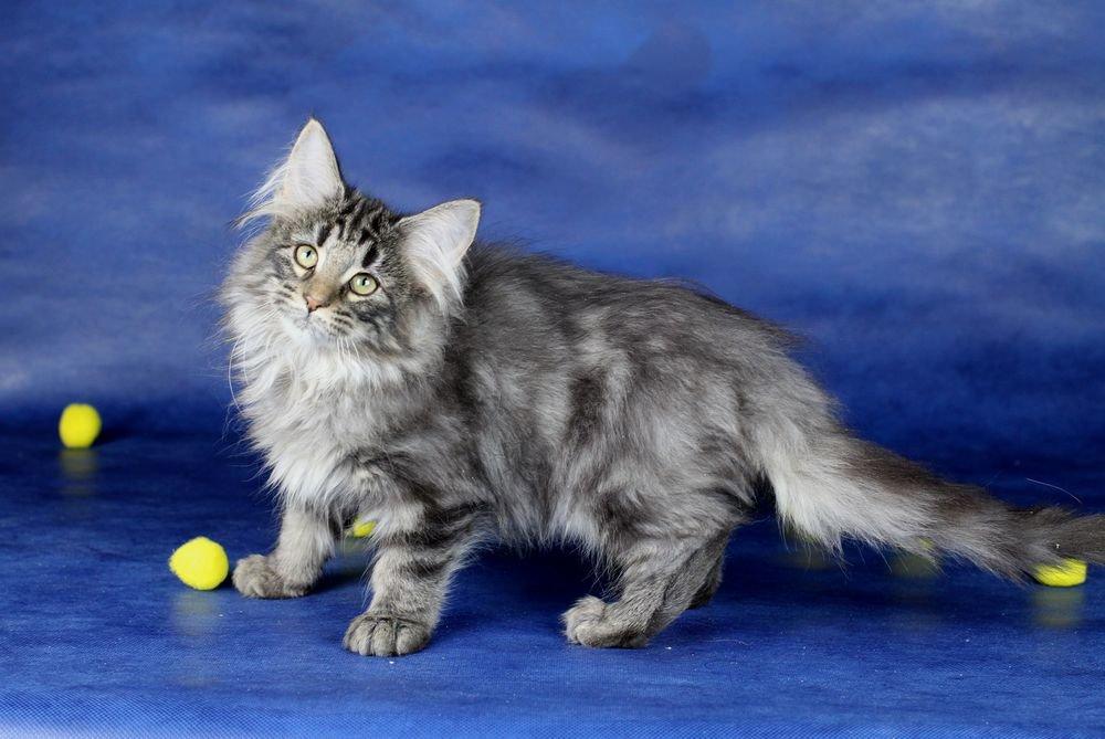 Норвежская лесная кошка: характер, сколько стоит содержание [фото, видео, цена]