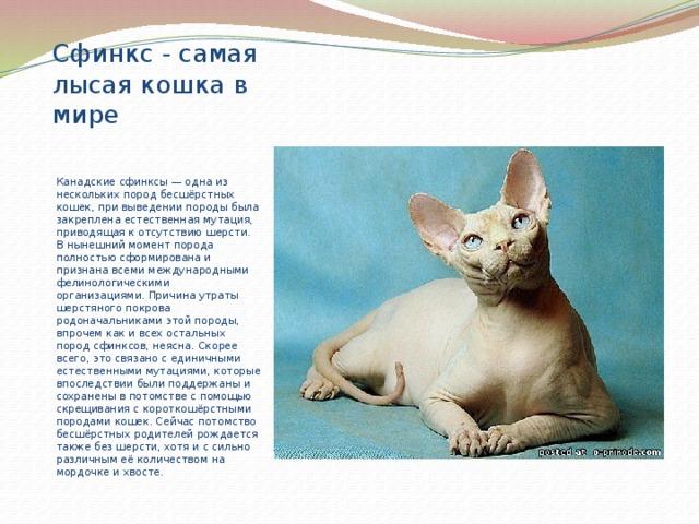 Донской сфинкс: фото кошки, стандарты, окрасы, описание породы, повадки и характер