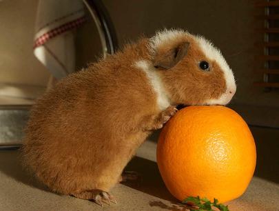 Можно ли морской свинке апельсин или мандарин
