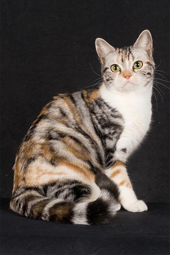 Американская жесткошерстная кошка— описание породы, уход и содержание