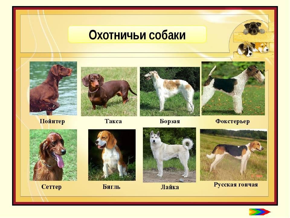 Какие бывают отечественные породы служебных собак: содержание и уход