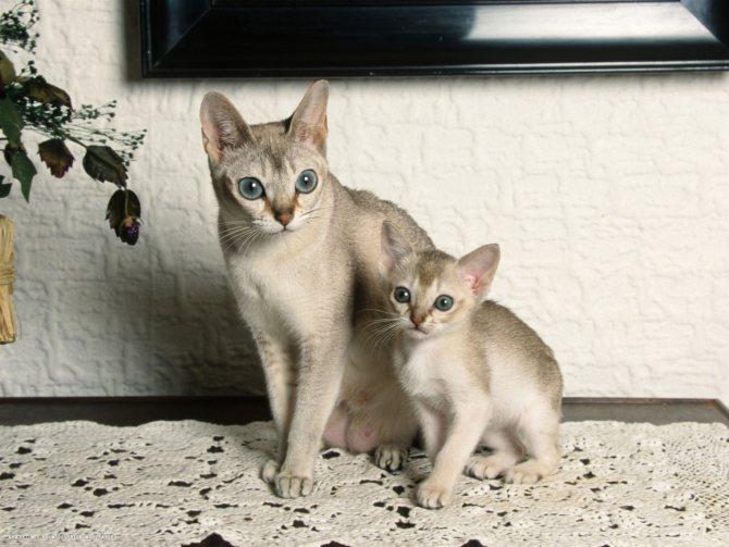 Сингапурская порода кошек:откуда привезли? подробности ухода +видео