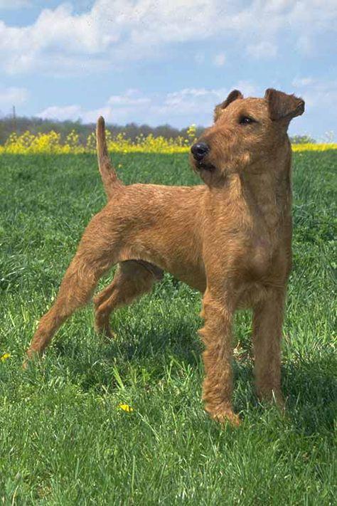 Порода собак эрдельтерьер: телохранитель сманерами аристократа
