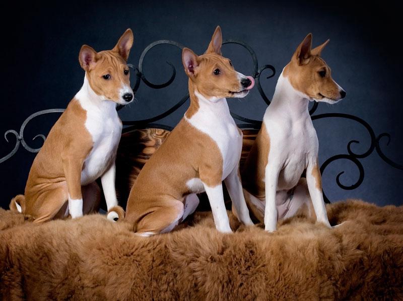 Какие породы собак мало линяют и не пахнут