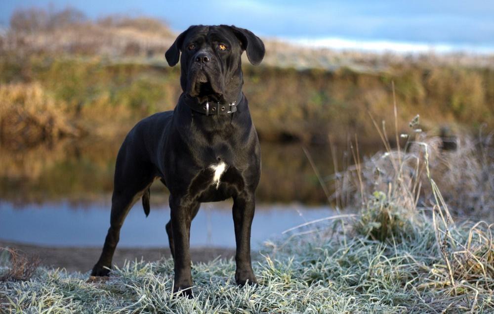 Кане-корсо собака фото, описание породы характеристика, цена щенка, отзывы